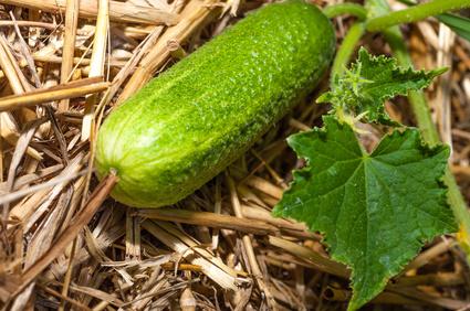 Gärtnern Auf Stroh Gaertnern Auf Strohballen Gemuese Pflanzen