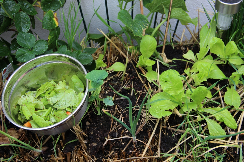 eigener salat1_1000
