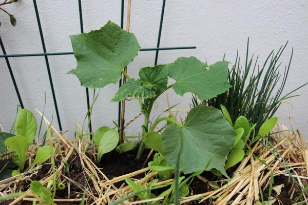 Strohwitwe Bepflanzt Strohballen - Pflanzen Auf Stroh Gaertnern Auf Strohballen Gemuese Pflanzen