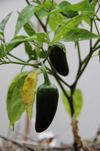 peperoni auf strohballen