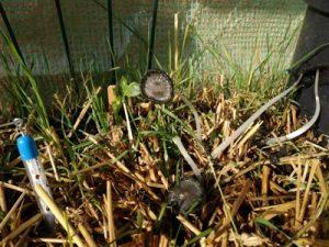 Pilze im Gewächshaus mit Strohballen