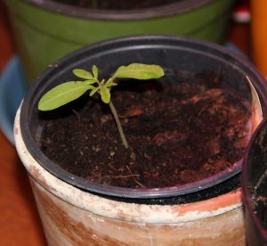 Rankhilfe für Tomaten besorgen