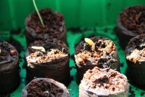 Gurken auf Strohballen