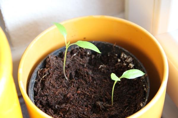 paprika peperoni pflanzen auf stroh. Black Bedroom Furniture Sets. Home Design Ideas