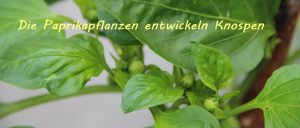 Paprikapflanzen auf Stroh
