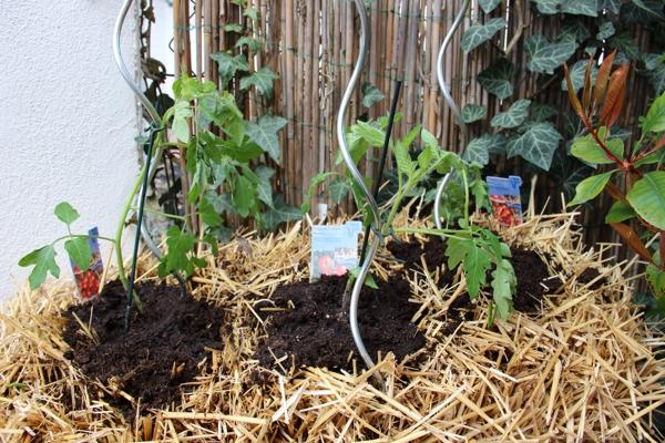 tomaten auf stroh gesetzt pflanzen auf stroh. Black Bedroom Furniture Sets. Home Design Ideas