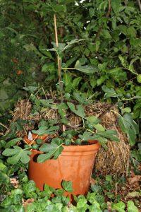 Strohballenbeet im Herbst