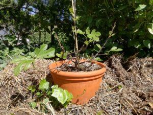 Junger Feigenbaum im Strohnest