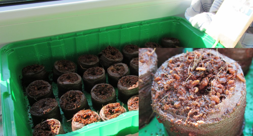 Pflanzen auf Stroh - Saat
