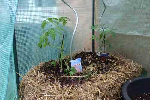 Rankhilfe für Tomaten
